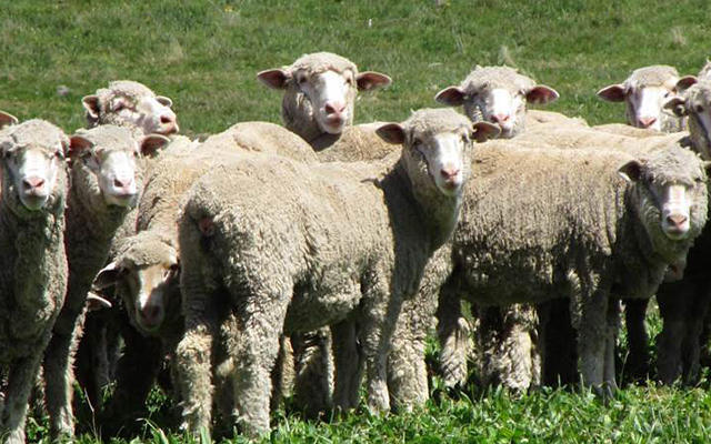 Non-Mulesed Wool